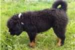Picture of Tibetan Mastiff Awesome Puppy