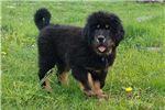 Picture of Tibetan Mastiff Bear Puppy