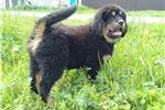 Picture of Tibetan Mastiff Purebred