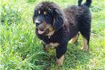 Picture of Tibetan Mastiff Purebred Puppy