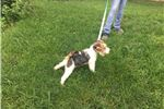 Fox Terrier, Wire for sale