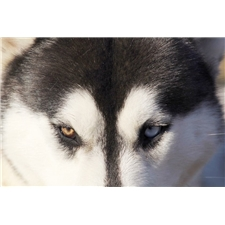 View full profile for Indian Creek Harris Huskies/ Alaskan Malamutes