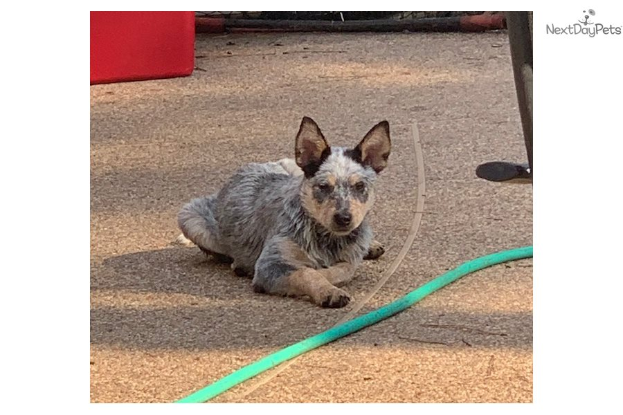 Fluffy: Australian Cattle Dog/Blue Heeler puppy for sale near