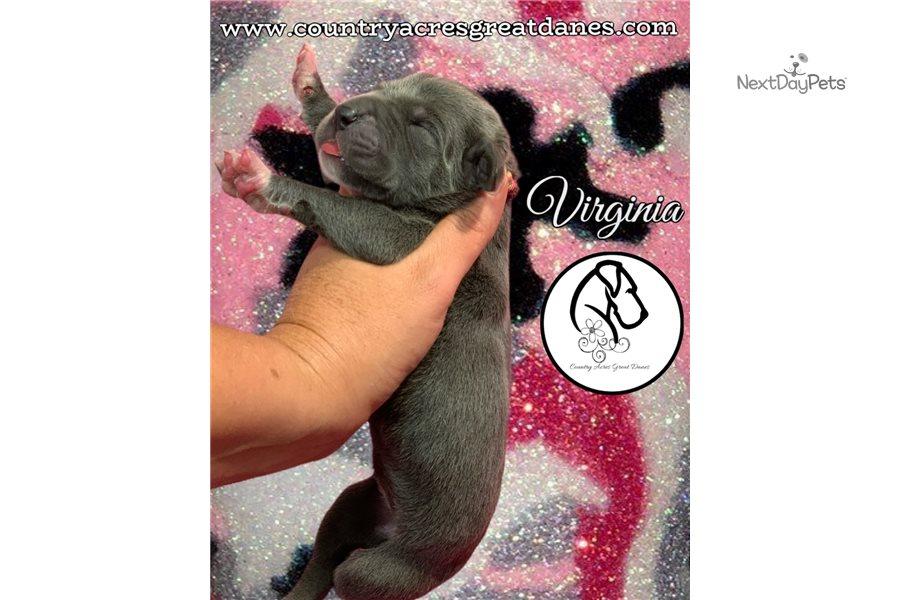 Virginia : Great Dane puppy for sale near Lafayette ...