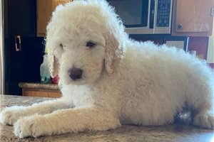 Alpine - Poodle, Standard for sale