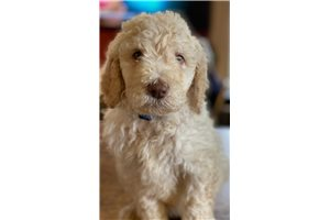 Salty - Poodle, Standard for sale