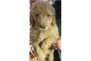 Sky - Poodle, Standard for sale