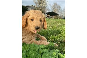 Tony - Poodle, Standard for sale