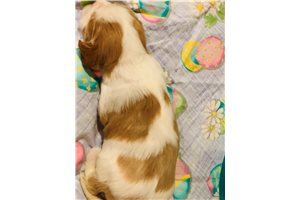 Picture of Akc Cotton Tail