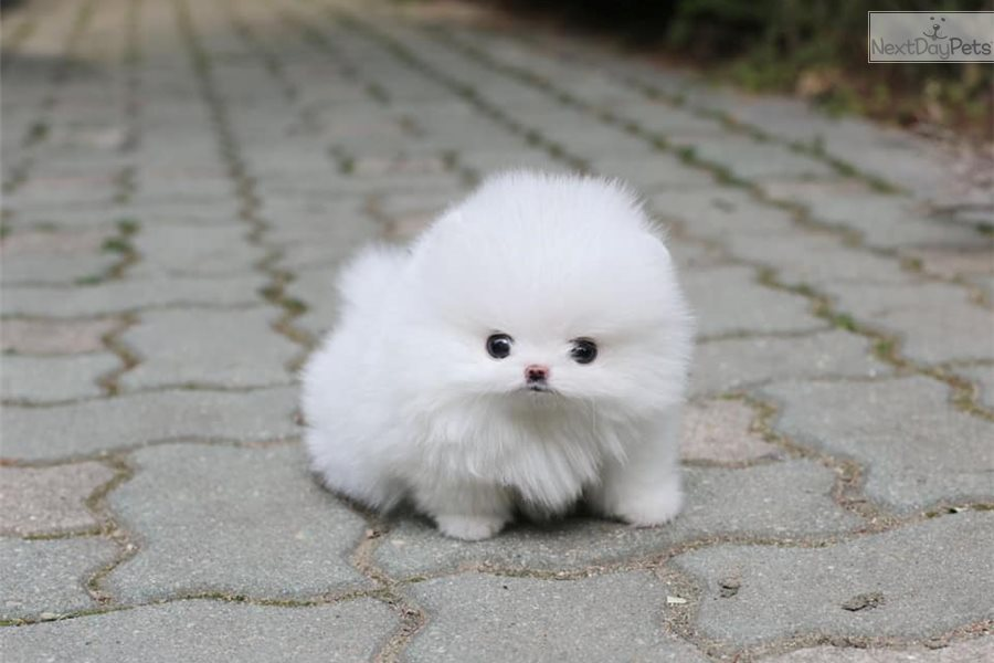 Miss Amazing : Pomeranian puppy for sale near Montreal, Quebec