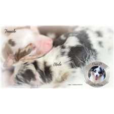 View full profile for Circle D Mini Aussies