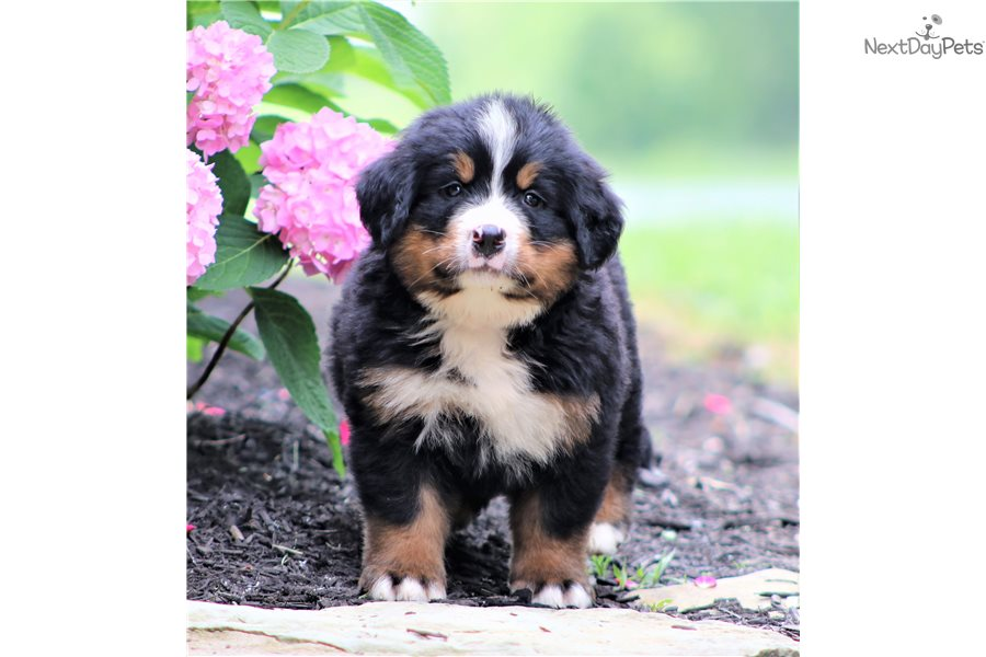 Bernese Mountain Dog Puppy For Sale Near Bowling Green