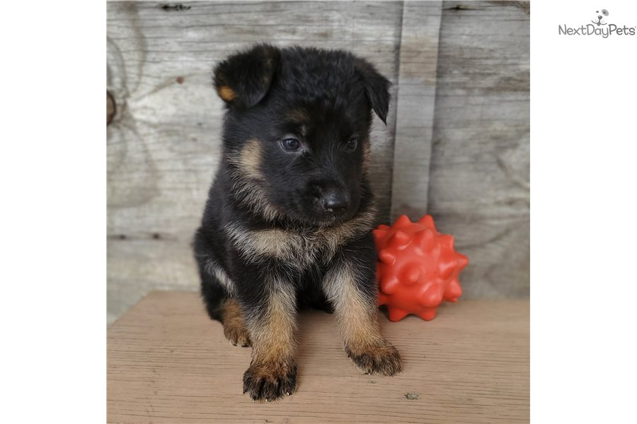 Lime Girl: German Shepherd puppy for sale near Tyler / East