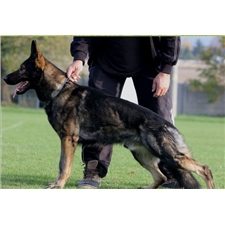 View full profile for Coyote Creek Ranch German Shepherds