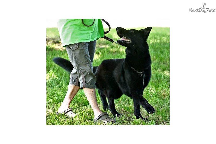 Buy Black: German Shepherd puppy for sale Sweden