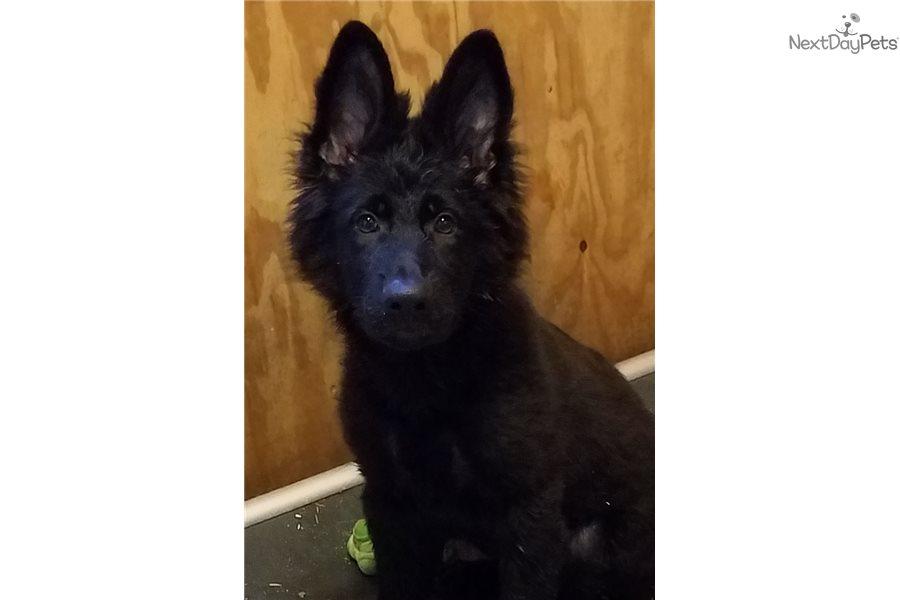 Black: German Shepherd puppy for sale in Portugal