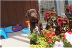 Picture of FEMALE - American Chocolate Labrador Puppy