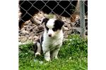 Picture of ASDR Registered Blue Merle Mini Aussies Female