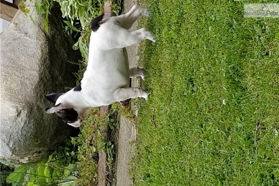 Mollie Mae: French Bulldog puppy for sale near Mansfield ...