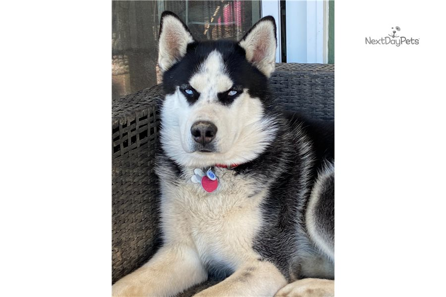 Accolades and breeding experience for your Siberian Husky breeder