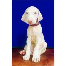 View full profile for White Dobermans