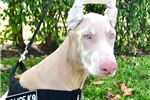 Picture of White Doberman Pincher with Blue Eyes-AKC