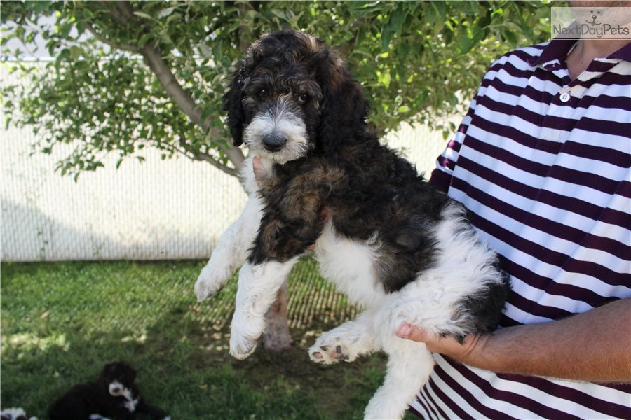 Olivia Bernedoodle Puppy For Sale Near Salt Lake City Utah