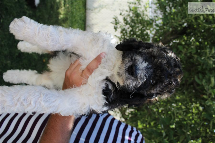 Bernedoodle Puppy For Sale Near Salt Lake City Utah