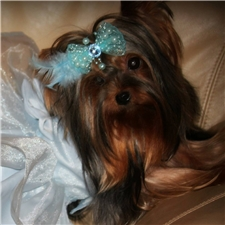 Yorkshire Terrier - Yorkie puppy for sale near Jacksonville, Florida