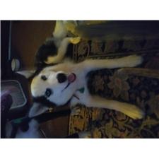 View full profile for Siberian Husky