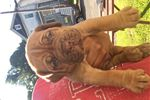 French Mastiff Dogue de Bordeaux  | Puppy at 20 weeks of age for sale