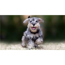 View full profile for Columbia Mini Schnauzers