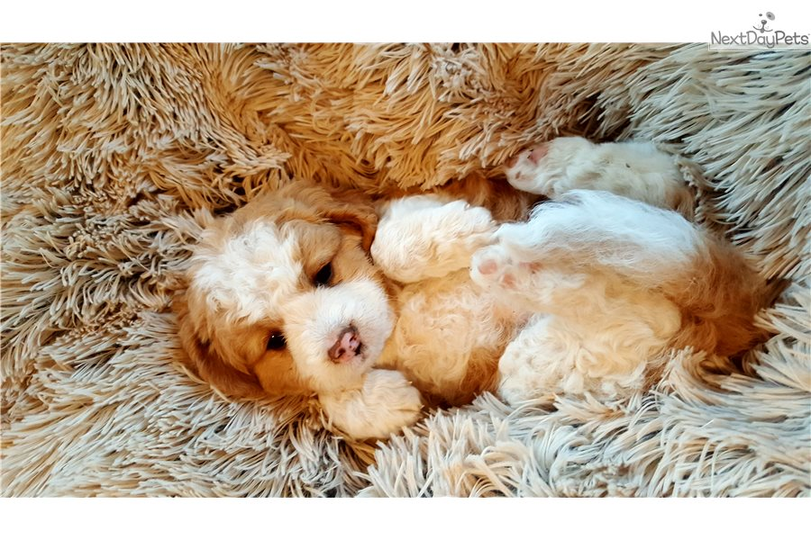 Bernedoodle Puppy For Sale Near Southwest Va Virginia