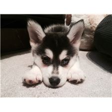 View full profile for Legitimate Pomskies