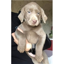 Ryan: Labrador Retriever puppy for sale near St Louis, Missouri