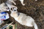 Picture of Male Great Pyrenees puppy