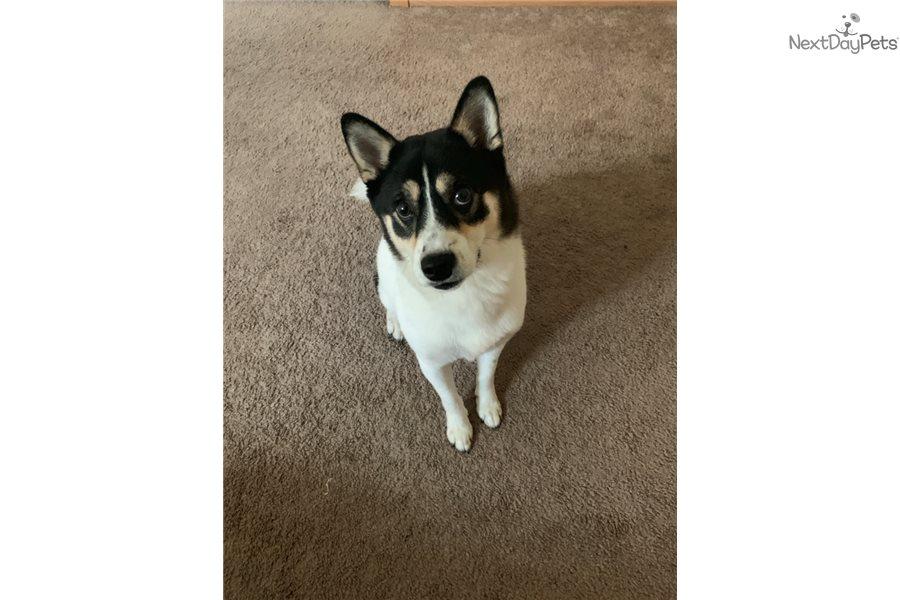 Female: Pomsky puppy for sale near Minneapolis / St Paul, Minnesota