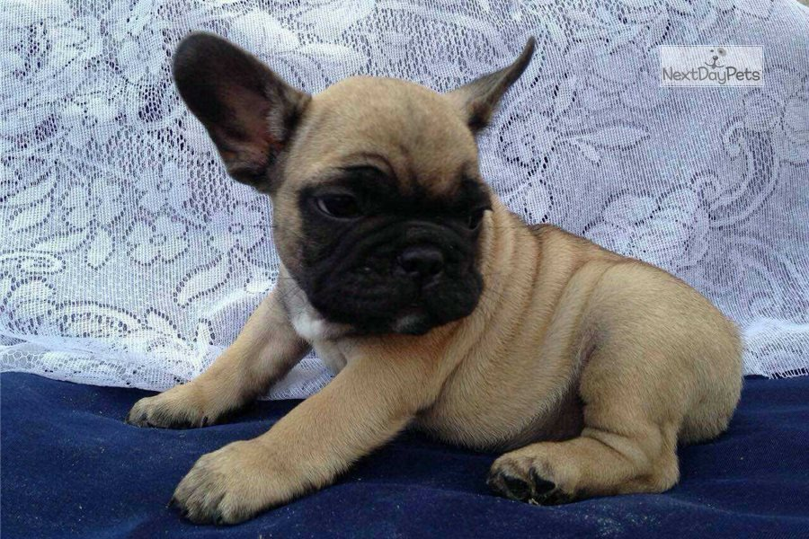 Willow: French Bulldog puppy for sale near In Singapore