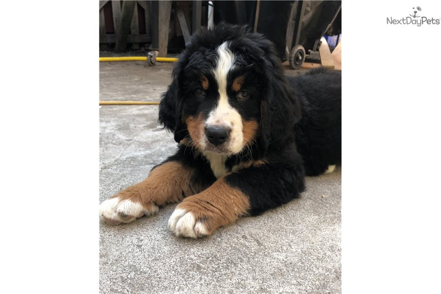Spotty Bernese Mountain Dog Puppy For Sale Near Corvallis