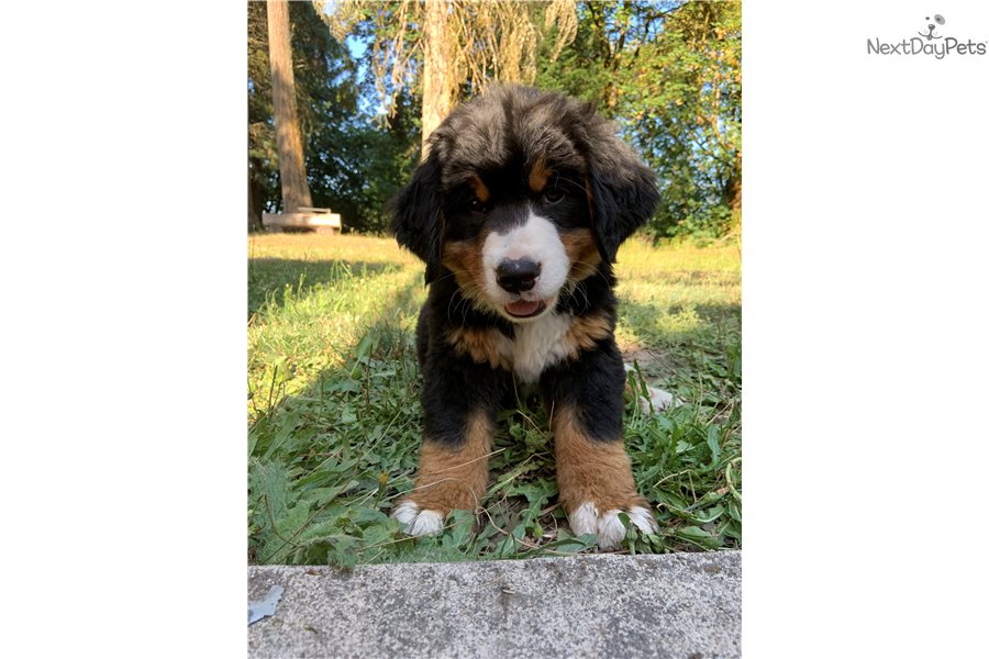 Luna Bernese Mountain Dog Puppy For Sale Near Corvallis