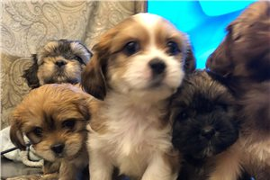 Featured Breeder of Shorkies with Puppies For Sale