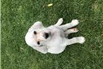 Picture of Ryman English Setter - Male
