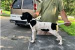 Picture of Akc Male English pointer
