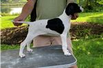 Picture of Akc Female black and white English pointer