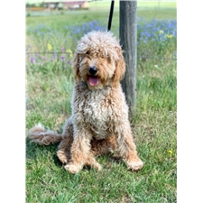 View full profile for Cause Of Our Joy Goldendoodles