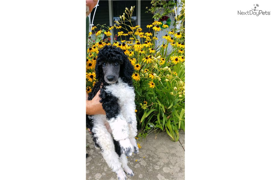 Hurricane: Poodle, Standard puppy for sale near Mansfield ...
