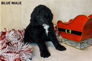 Male | Puppy at 8 weeks of age for sale