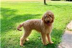 Picture of 4 month old Goldendoodle