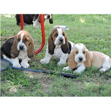 View full profile for Mcmahan Bassets