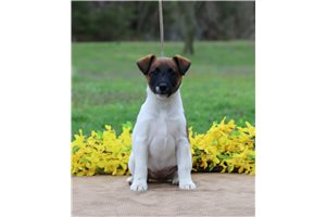 Picture of a Smooth Fox Terrier Puppy